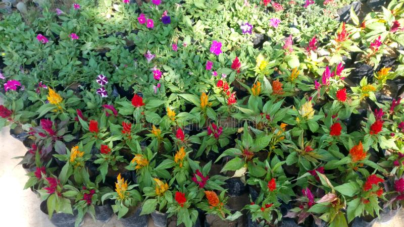 Decorative flowers. A photo click of decorative flowers from nursery stock photography