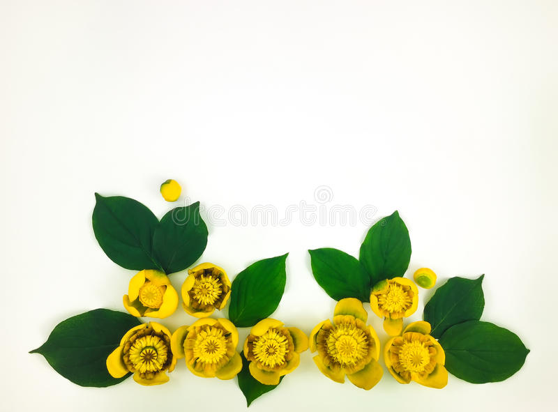 Decorative frame with bright yellow water lilies on white background. Flat lay. Top view stock photo