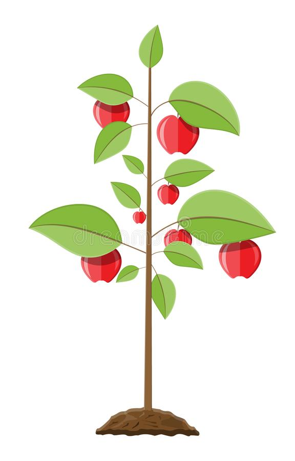Decorative fruit tree. Growth of plant, from sprout to fruit. Planting tree. Seedling gardening plant. Apple tree. Vector illustration in flat style royalty free illustration