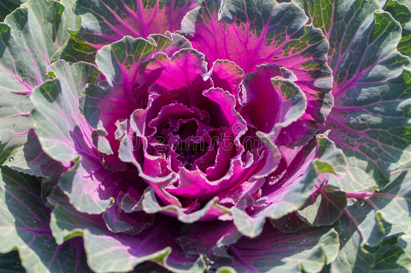 Decorative garden cabbage covered with hoarfrost after the first. Morning frost stock photo