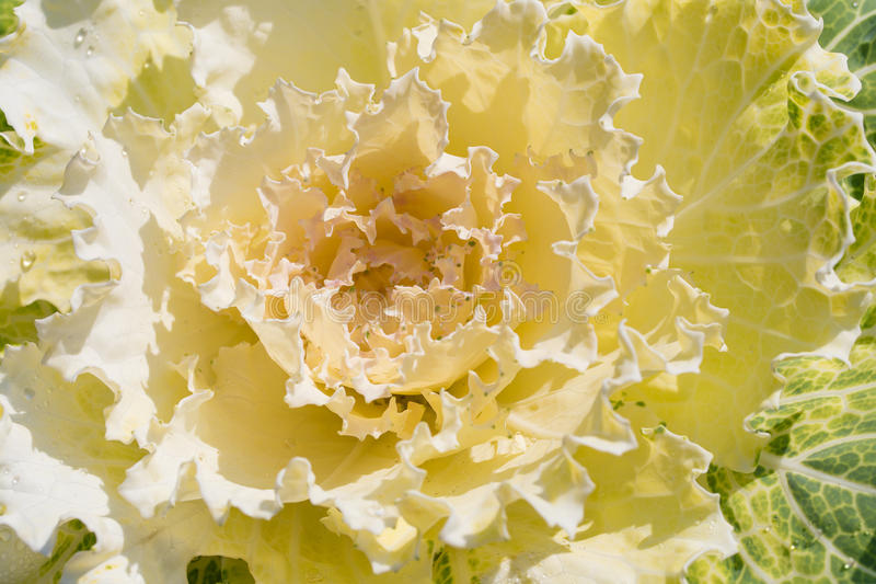 Decorative garden cabbage covered with hoarfrost after the first. Morning frost stock image