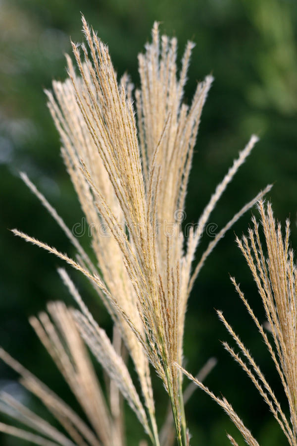 Download Decorative Grass stock image. Image of pampas, dividers - 10877495