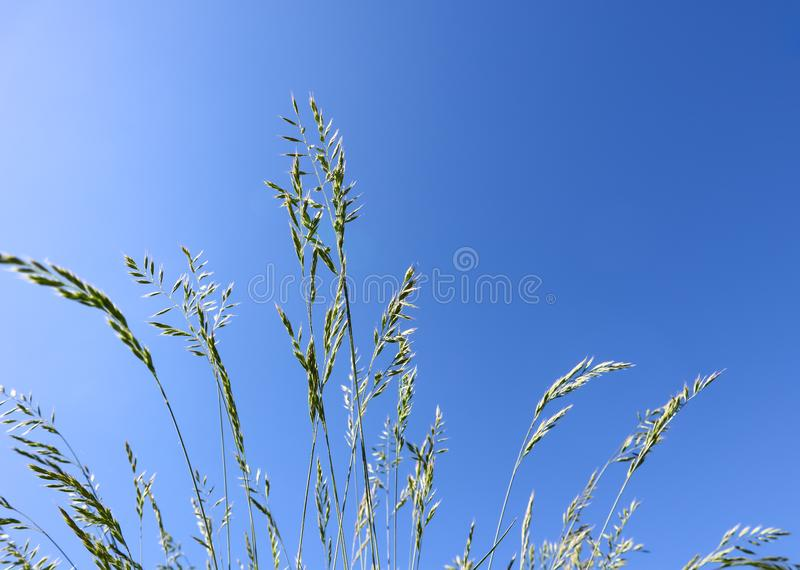 Decorative grass Blue fescue on blue sky background. Festuca glauca spikelets.  royalty free stock image