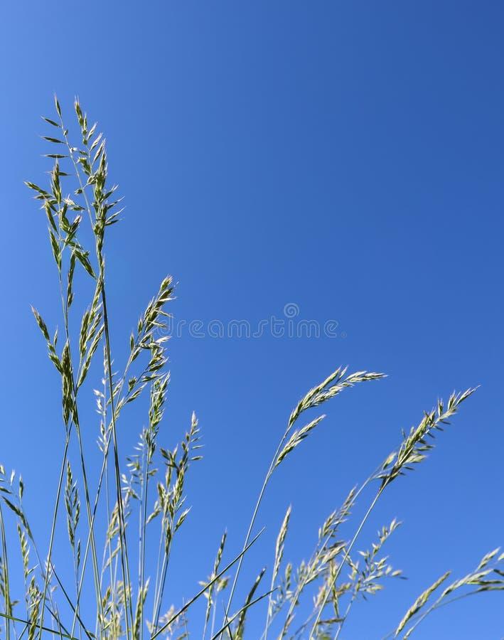 Decorative grass Blue fescue on blue sky background. Festuca glauca spikelets.  stock photos