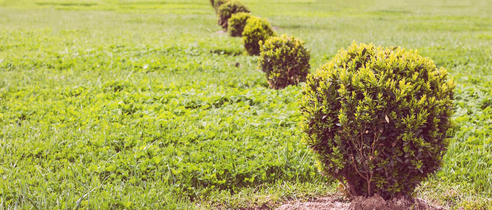 Decorative green bush on grass meadow in spring royalty free stock photos