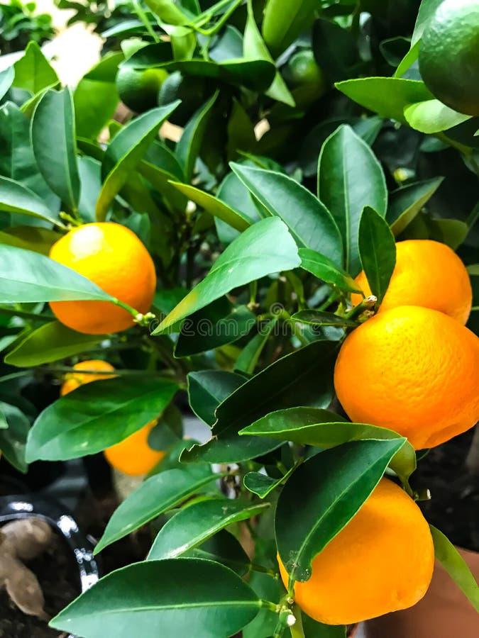 Decorative mandarin tree with orange fruits stock photos