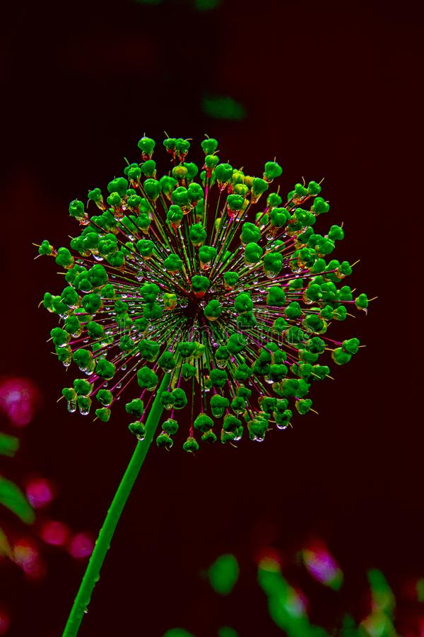 Decorative onion flower with water drops royalty free stock photography
