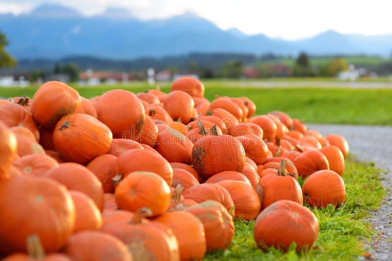 Decorative orange pumpkins on display at the farmers market in Germany. Orange ornamental pumpkins in sunlight stock image