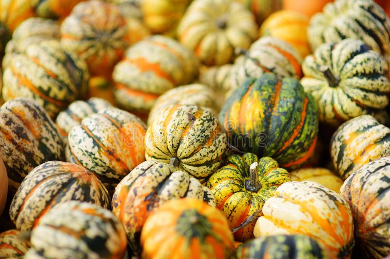Decorative orange pumpkins on display at the farmers market in Germany. Yellow-green striped ornamental pumpkins in sunlight. royalty free stock image