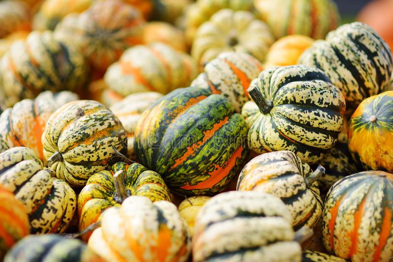 Decorative orange pumpkins on display at the farmers market in Germany. Yellow-green striped ornamental pumpkins in sunlight. royalty free stock photo