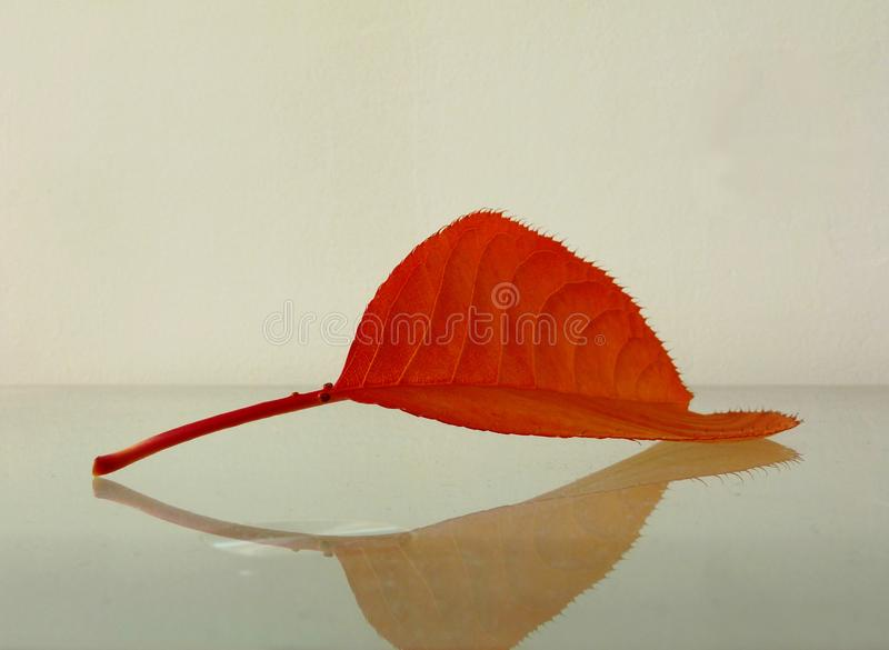 Decorative orange red fall leaf closeup on reflective glass surface. Abstract view of decorative orange red fall leaf closeup detail in selective focus with royalty free stock photos