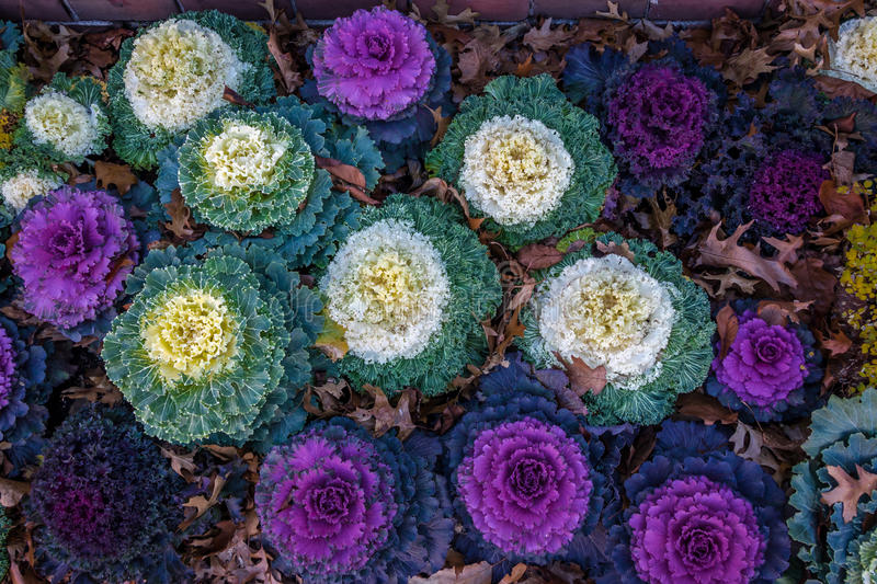 Decorative ornamental kale royalty free stock images