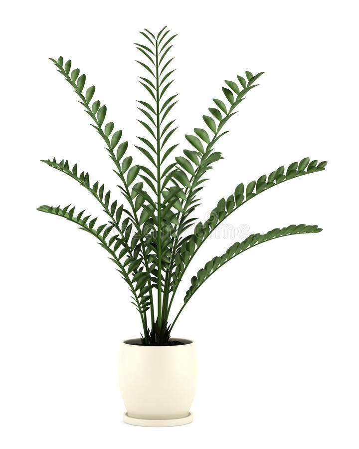 Decorative plant in pot isolated on white. Background royalty free stock photography