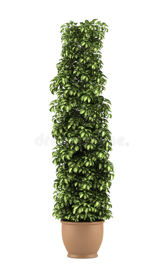 Decorative plant in pot isolated on white. Background royalty free stock images