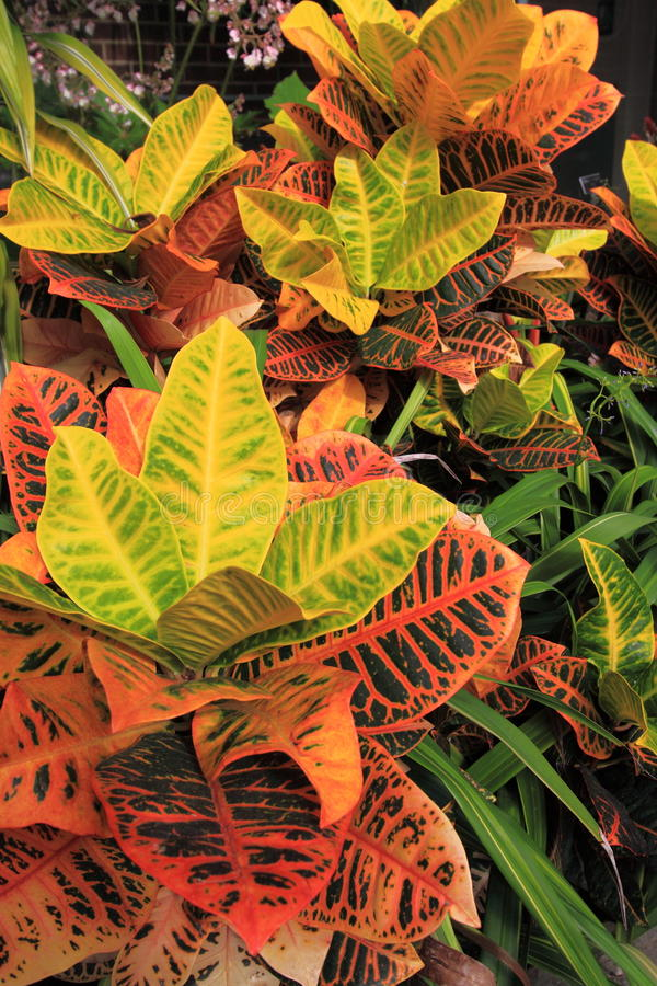 Colorful Croton Plants. Flower Garden Background with colorful leaves and green tropical plants stock photo