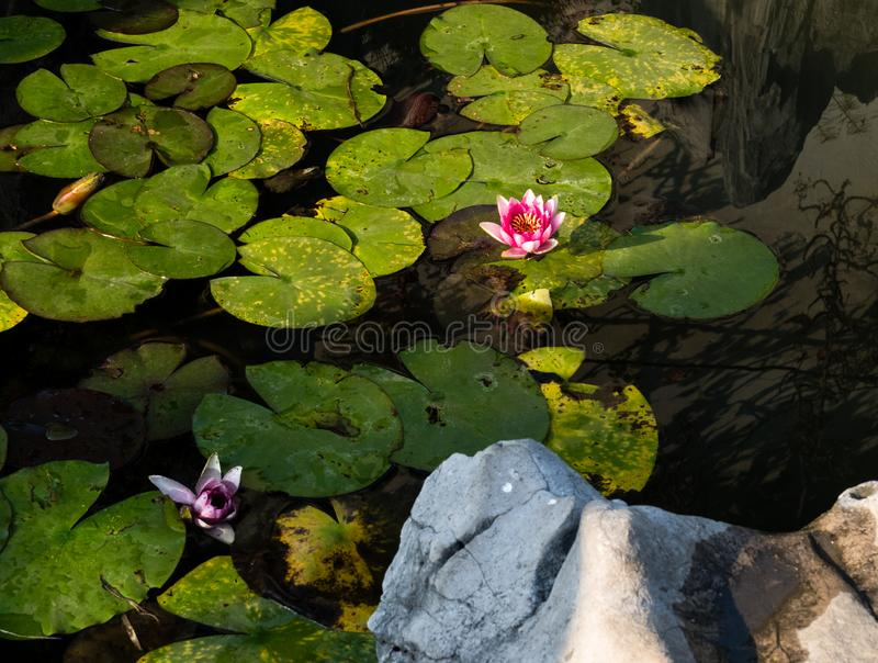 Pond with water lilies in classical Chinese garden. Decorative pond with blooming water lilies in classical Chinese garden stock photos