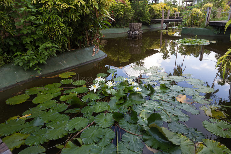 Decorative pond with white water lilies . Fiji. Decorative pond with white water lilies surrounded by tropical plants and wooden bridges. Fiji royalty free stock photos