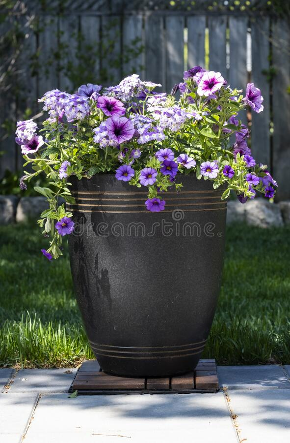 A Decorative Pot of Purple Petunias on a Stone Patio royalty free stock photos