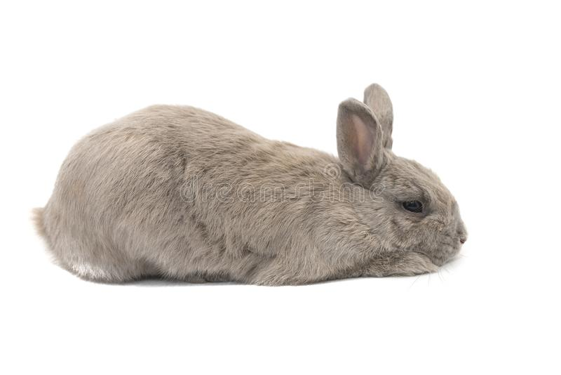 Decorative rabbit grey and sad lies in profile isolated on white background stock photo