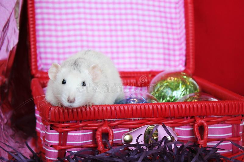 Decorative rat in a box with Christmas toys. Symbol of new year 2020. Happy New year. Chinese horoscope. year of rat royalty free stock photo