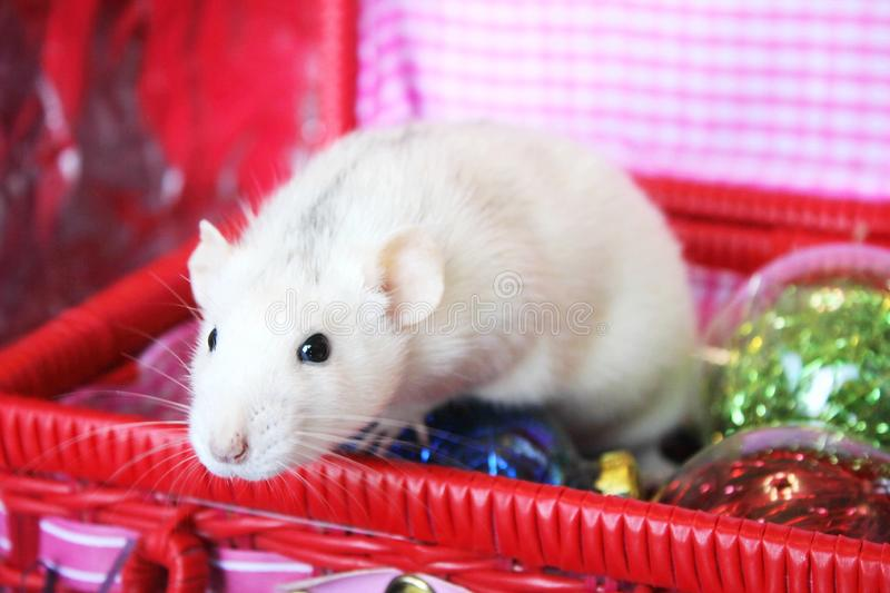 Decorative rat in a box with Christmas toys. Symbol of new year 2020. Happy New year. Chinese horoscope. year of rat royalty free stock photography