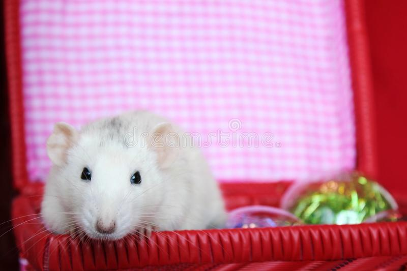 Decorative rat in a box with Christmas toys. Symbol of new year 2020. Happy New year. Chinese horoscope. year of rat stock photography