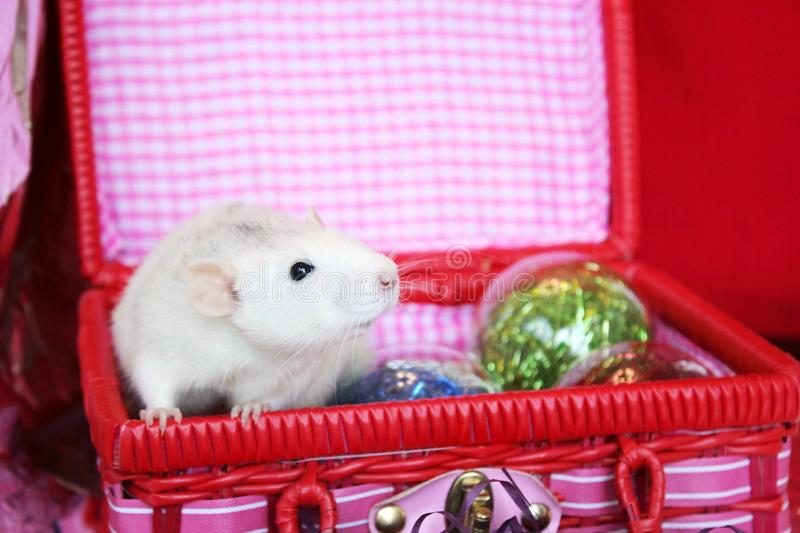 Decorative rat in a box with Christmas toys. Symbol of new year 2020. Happy New year. Chinese horoscope. year of rat stock images