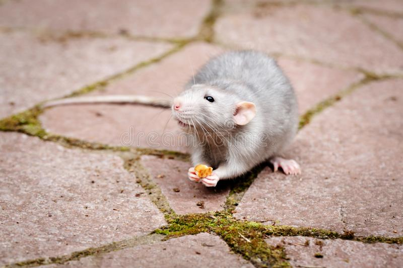 Decorative rat dumbo. In the paws of a rat a piece of food. Pet. Close-up. Decorative rat dumbo. In the paws of a rat a piece of food. Close-up. Pet royalty free stock image