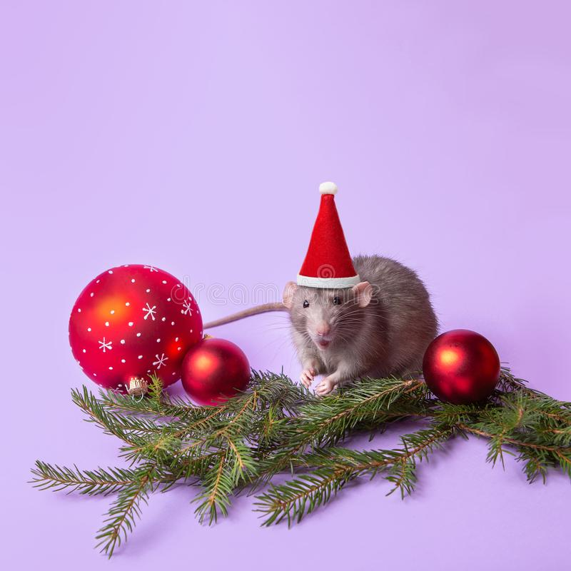 Charming pet. Decorative rat dumbo in a Santa hat on a lilac background. New Year`s toys, branches of spruce. Year of the rat. Decorative rat dumbo in a Santa royalty free stock photography