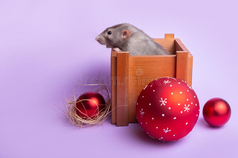 Charming pet. Decorative rat dumbo in a wooden box on a lilac background. New Year`s toys. Year of the rat. Chinese New Year. Decorative rat dumbo in a wooden royalty free stock photography