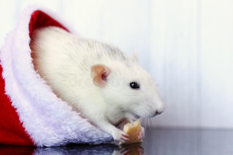 Decorative rat sits in Santa Claus hat and eats cheese. Symbol of the year 2020. Copy Space stock photo