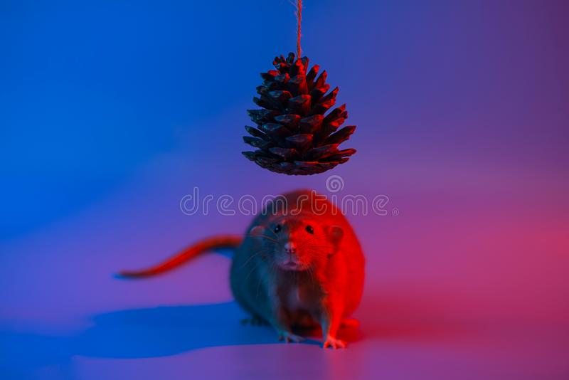 Decorative rat symbol of the year and the cone of the Christmas tree in blue neon light. Decorative rat symbol of the year and the cone of the Christmas tree in royalty free stock photos