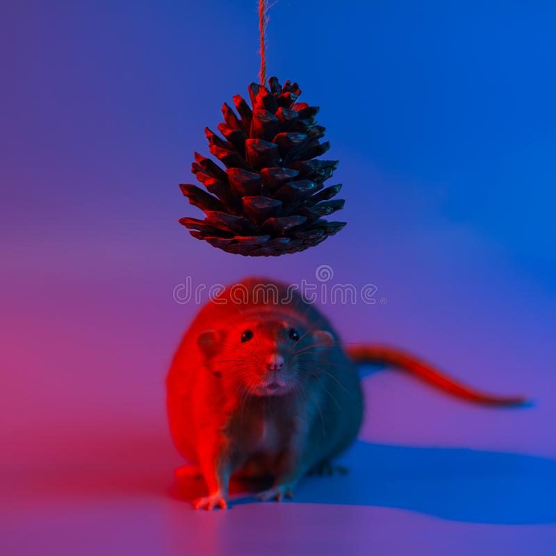 Decorative rat symbol of the year and the cone of the Christmas tree in blue neon light. Decorative rat symbol of the year and the cone of the Christmas tree in stock image