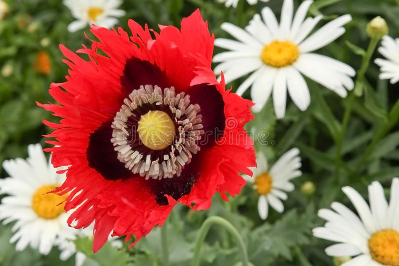 Decorative poppy royalty free stock photography