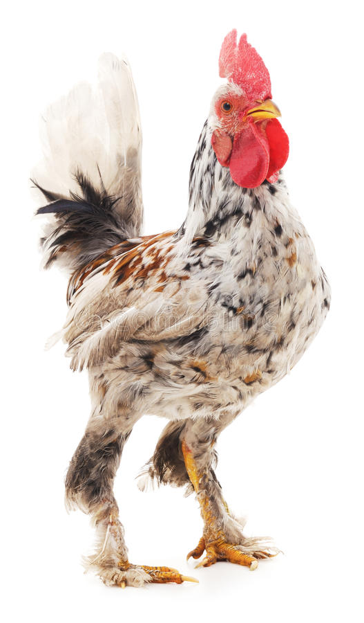 Decorative rooster. Decorative rooster on a white background royalty free stock photo