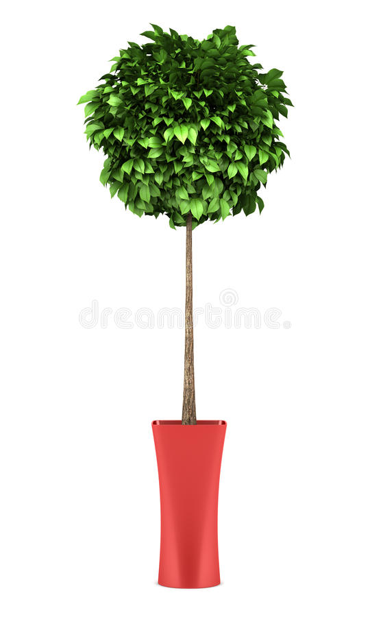 Decorative round tree in red pot isolated on white. Background royalty free stock photography