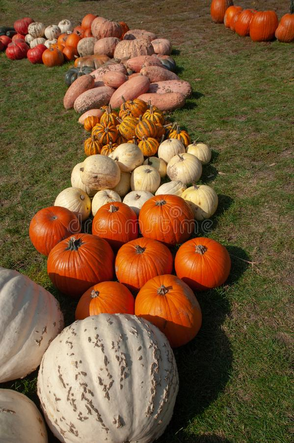 Decorative row display with pumpkins, gourds and squash of different varieties from the fresh harvest on garden grass ground. Including: 'Polar Bear stock images
