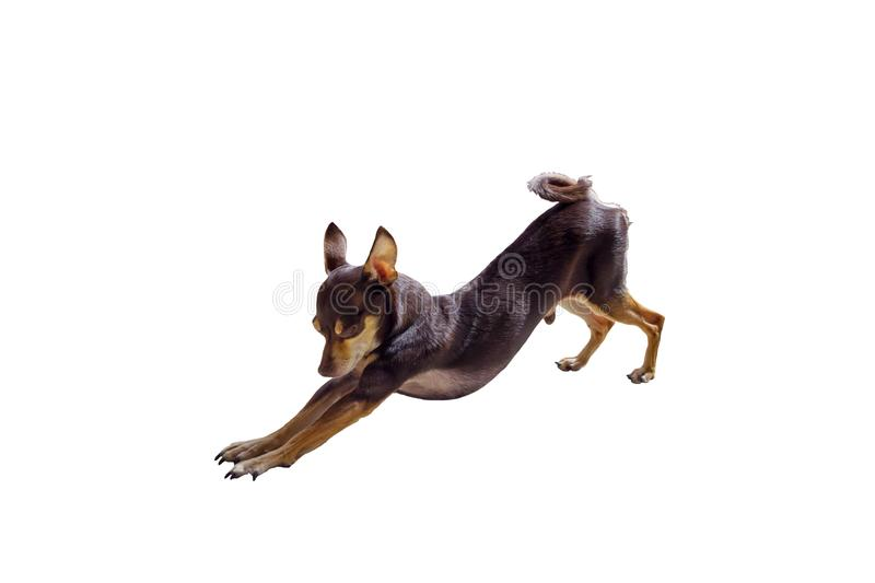 Decorative Russian Toy Terrier stock images