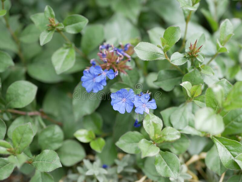 Decorative shrub with bright blue flowers on a Sunny summer day. Ceratostigma flowers on a background of green leaves. stock image