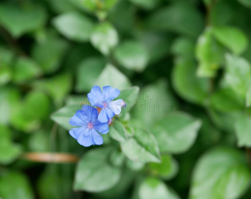 Decorative shrub with bright blue flowers on a Sunny summer day. Ceratostigma flowers on a background of green leaves. royalty free stock image