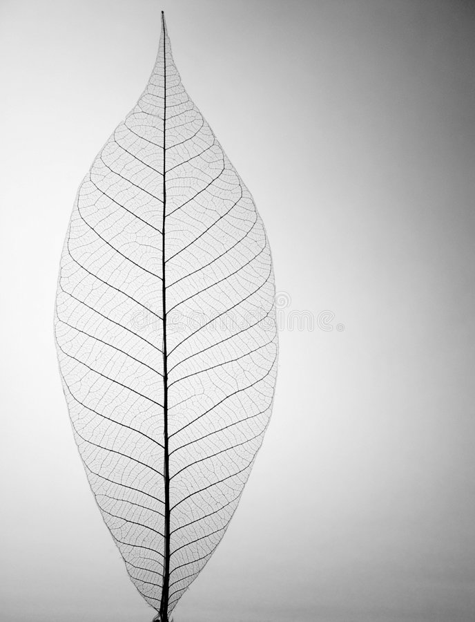 Decorative skeleton leaf royalty free stock photo