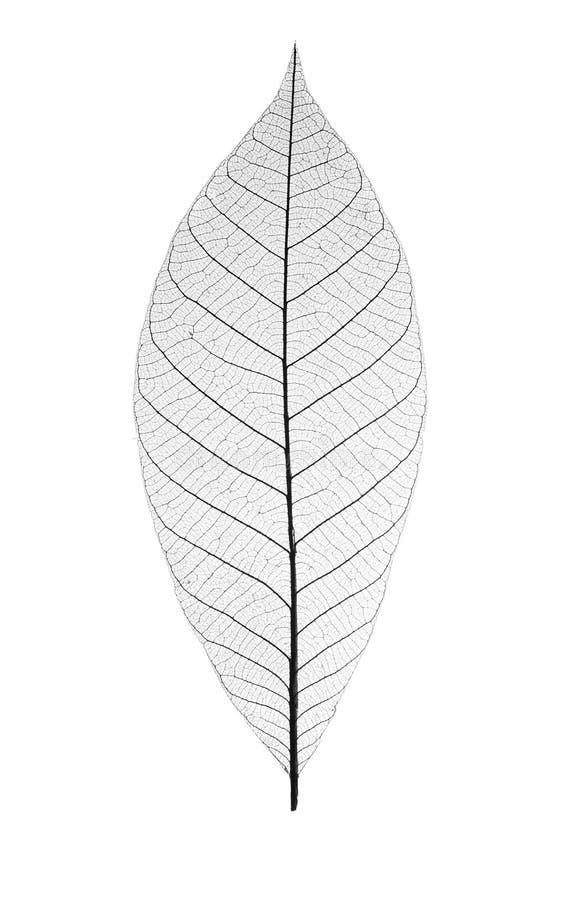 Decorative skeleton leaf isolated. On white royalty free stock images