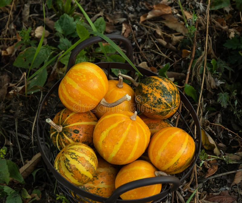 Decorative small round pumpkins in a garden basket on the ground royalty free stock photos
