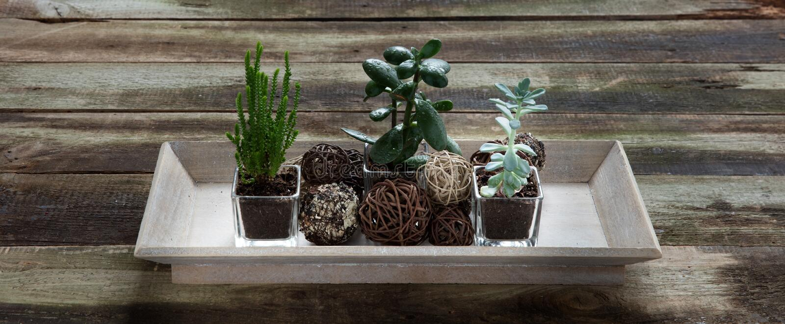 Decorative succulent plants in wooden tray on rustic table, banner. Decorative succulent plants in wooden tray on rustic table for indoor evergreen presentation royalty free stock images