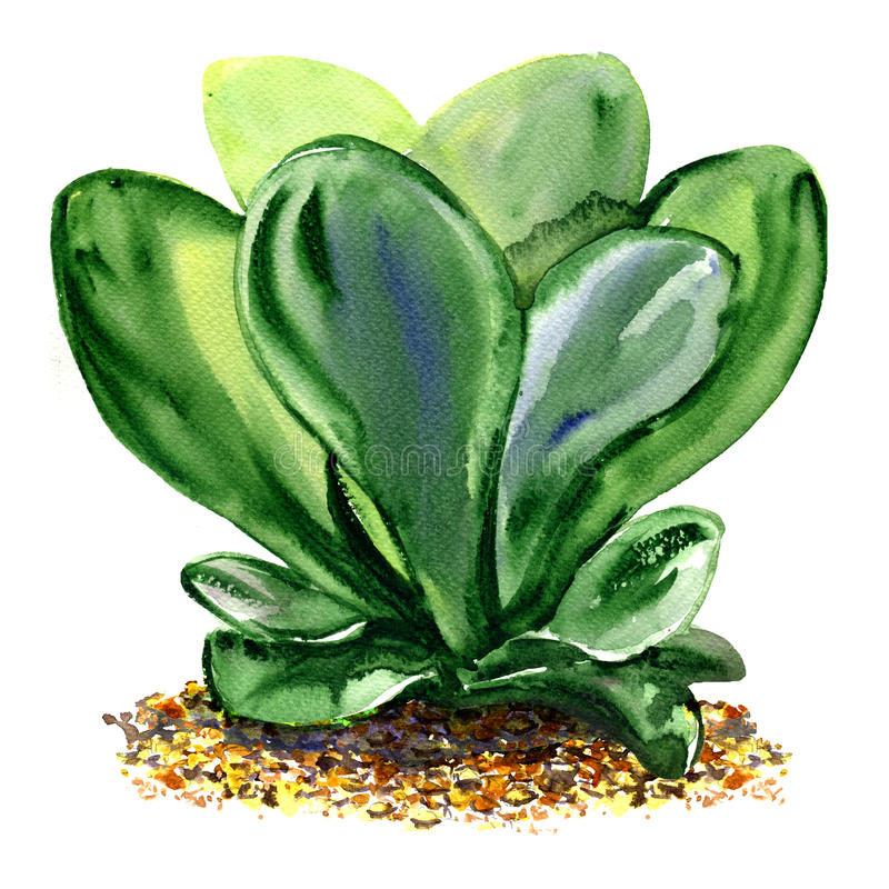 Decorative succulent potted plant kalanchoe with green leaves, paddle isolated, watercolor illustration on white. Background stock illustration