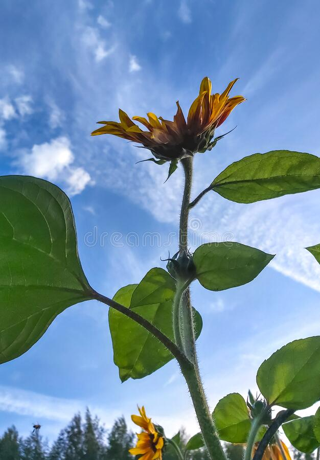 Decorative sunflower flower with large green leaves against the sky.  stock photography