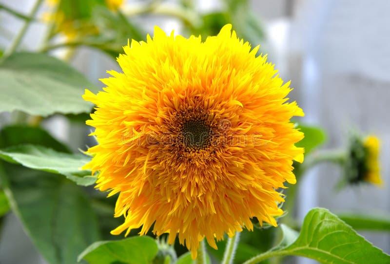 Decorative sunflower Helianthus plant royalty free stock photography