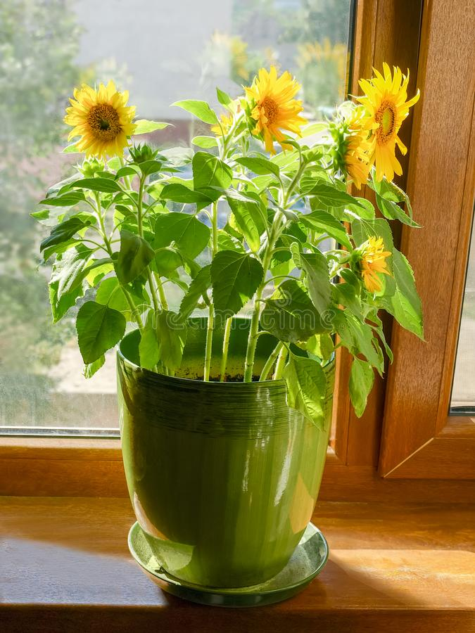 Decorative sunflowers in a flower pot on a window sill royalty free stock photo