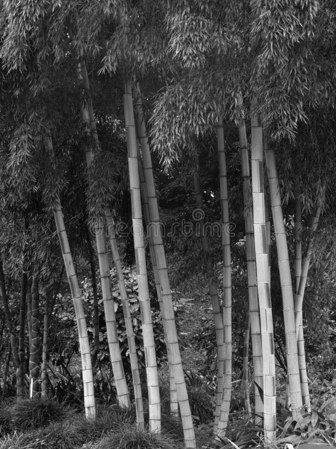 Tall Bamboo Plants in Formal Garden Grove. Decorative tall and thick bamboo plants in a large landscaped formal garden, Japan. Light and shade; a natural example royalty free stock image