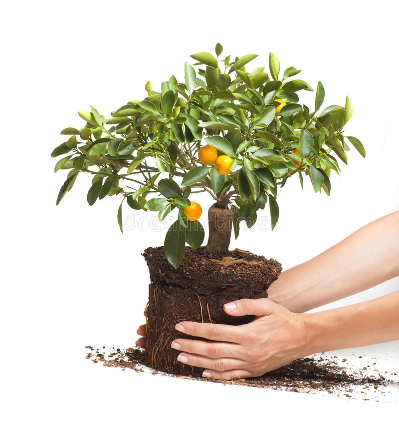 Decorative tangerine tree in hands royalty free stock images